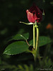 Rose still in pot