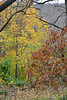 Yellow maple leaves, orange Clethra barbinervis, Hesperides
