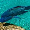 Napoleon fish, Bora Bora