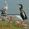 White Ibis and Anhinga making friends with a plaster Brown Pelican.