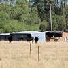 Cattle at Corowa