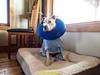 2/3 Pinki following his knee surgery
