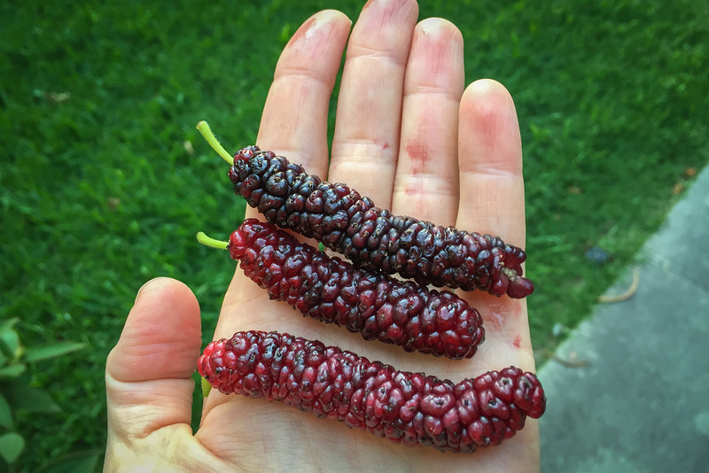 Mulberries | Rare and exotic fruit from around the world