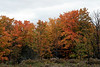 Stand of Maples