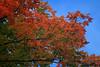 Sugar Maple Leaves