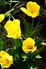 Tulips #15