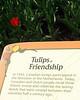 Tulips of Friendship