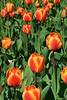 Tulips #4