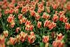 Tulips #8