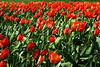 Tulips #13