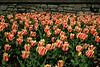Tulips #9