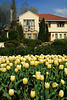 Tulips #6