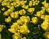 Tulips #14