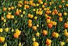 Tulips #18