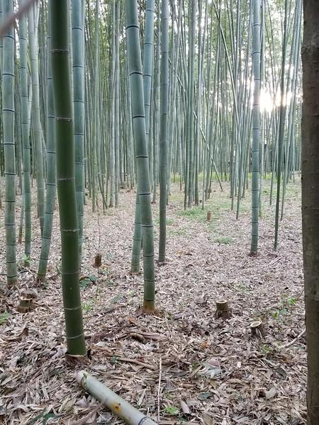 Western Kyoto Arashiyama Bamboo Forest