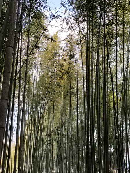 Quiet walk amid TALL bamboo