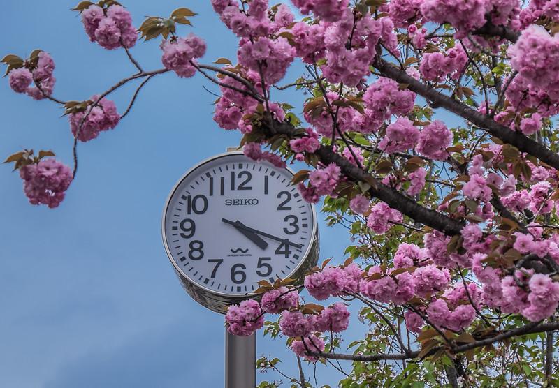 Time for sakura