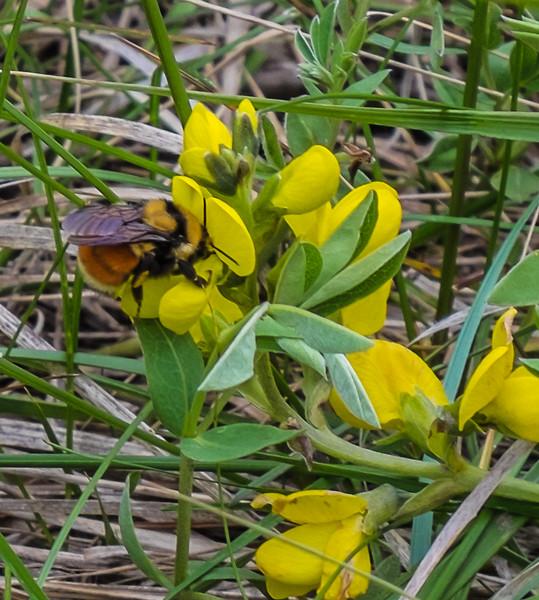Furry orange bee