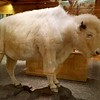 """White Cloud"" sacred buffalo from herd, preserved after natural death."