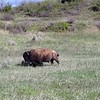 Bison can run @ 35mph when motivated