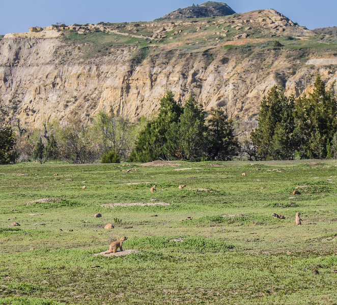 Village of prairie dogs