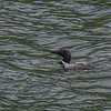 Water on a diving Loon's head