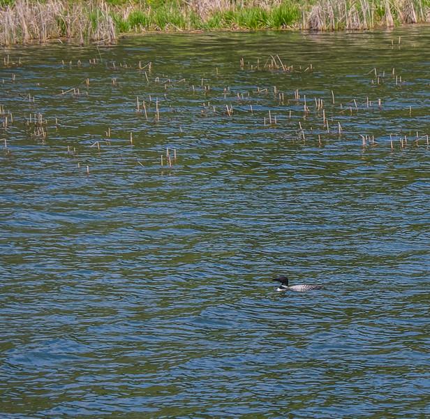 Common loon with wild rice stalks on water's edge