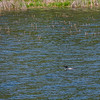 Common loon with wild rice stalks on water's edge