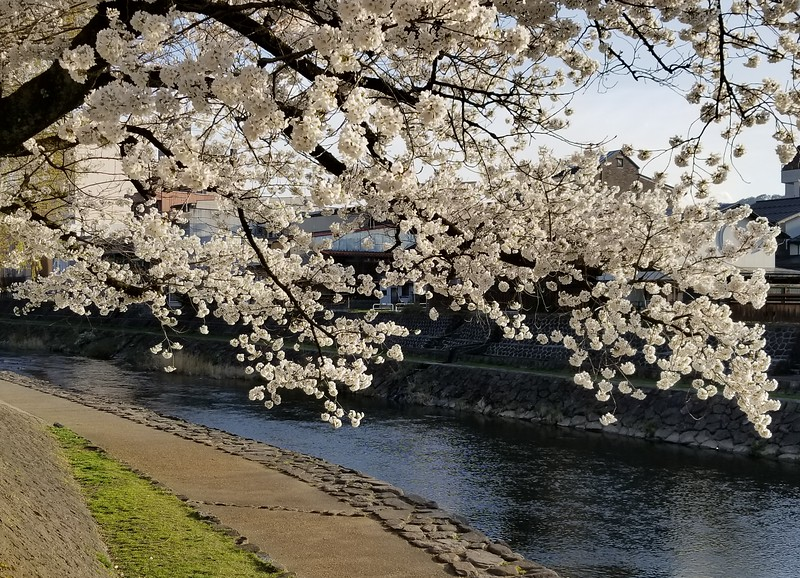 Cherry tree and River Miya