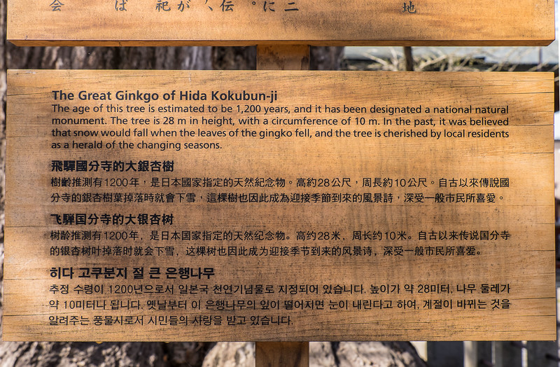 Description of monumental ginkgo tree