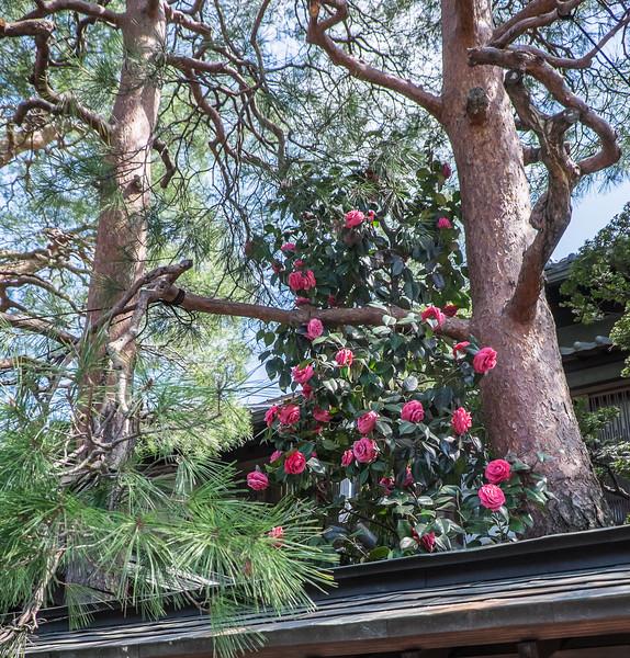 Camillia bush