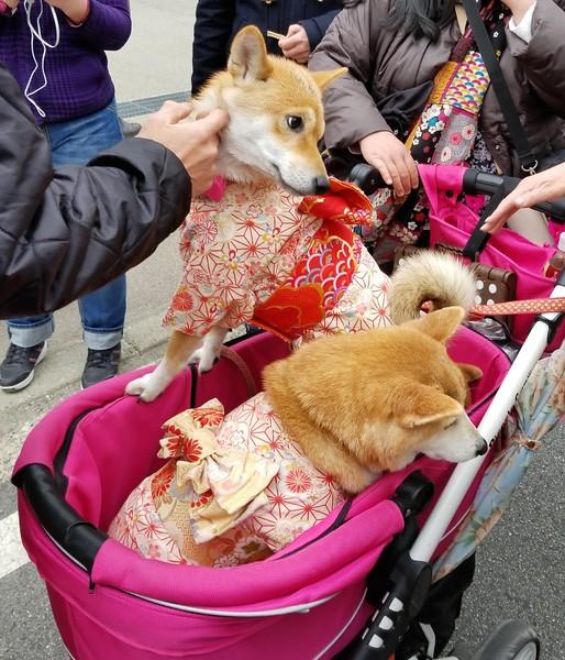 Kimono'd dogs (shiba inu breed)
