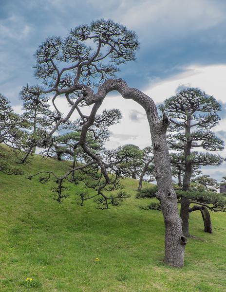 Aged pine