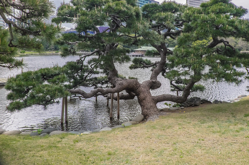 Ancient pine with props