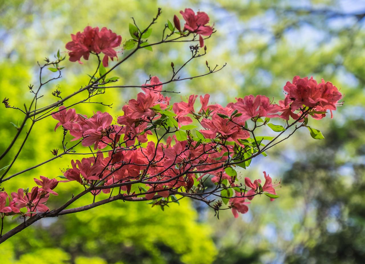 Azaleas blooming?
