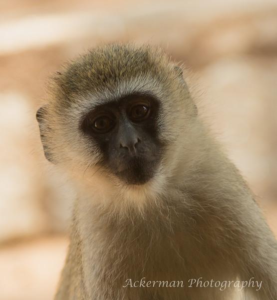 A Vervet Monkey returns the stare of our camera lens.
