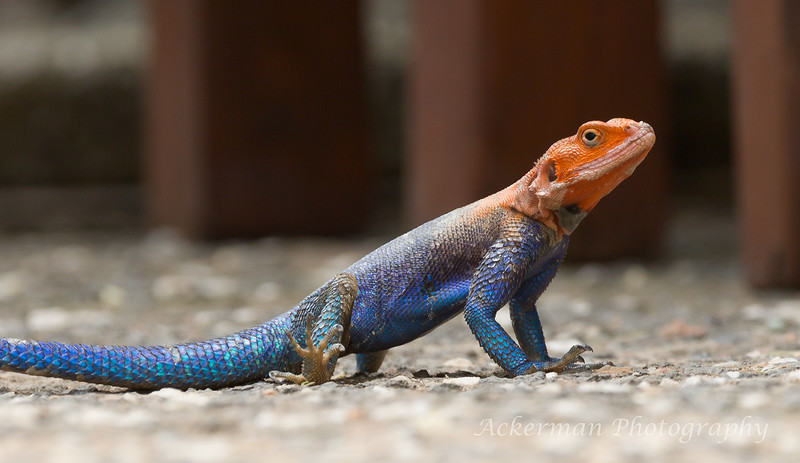 Seeking shade, an agama poses on the porch outside the hotel rooms.