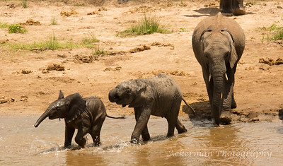 Young African elephants play during the twice daily visit to the river.