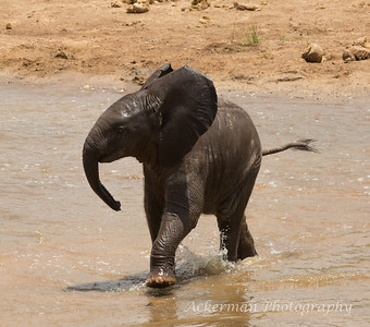 Baby African elephant frolics in the water.