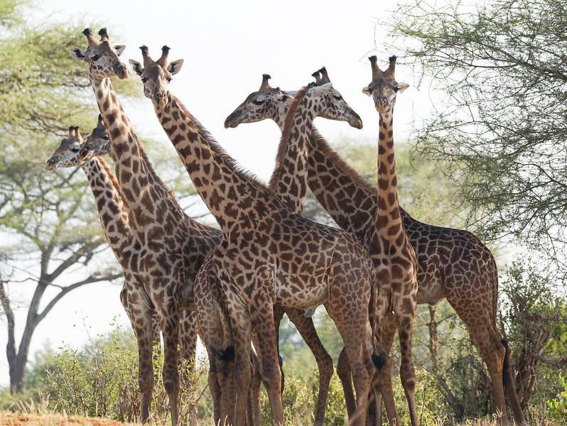 A Tower of Masai Giraffes