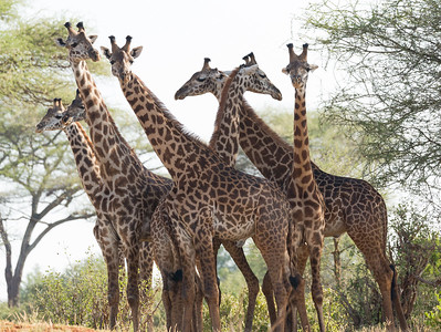 A Tower of Masai Giraffes