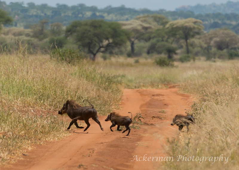 Warthog mama and her babies