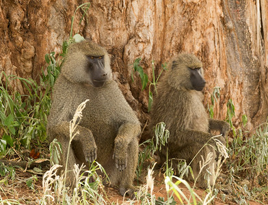 Olive baboons catch some shade under a baobob tree.