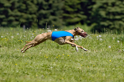 Lyra is a once in a lifetime dog to me.  She is a wonderful companion who will always have a special place in my heart.     Lyra is an exceptional athlete and excels on the lure coursing field.  She was the #5 lure coursing hound in Canada in 2004.  In 2005, she finished as #2.  In 2006 and 2007 lure coursing took a back seat to child rearing as we welcomed our daughter into our family.  In 2008, Lyra got a late start but came back strong in a tie for #9.  In 2009, after her first litter of pups, she once again took the #5 spot, proving her excellence and consistency on the field.