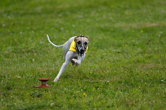 River was the # 1 Lure Coursing Sighthound in Canada in 2007.<br /> <br /> She is a little dynamo, and her heart is in no way diminished by her small size.  She greets every opportunity to run with boundless enthusiasm.  At home, she provides endless comic relief with her mannerisms and nutty personality.  She has proven that dogs can hop on two legs as well as climb trees, a feat I first observed when a fat grey squirrel wandered into the wrong backyard.<br /> <br /> River is extremely affectionate and endlessly attention seeking.  She easily wins the hearts of all those who come to know her.