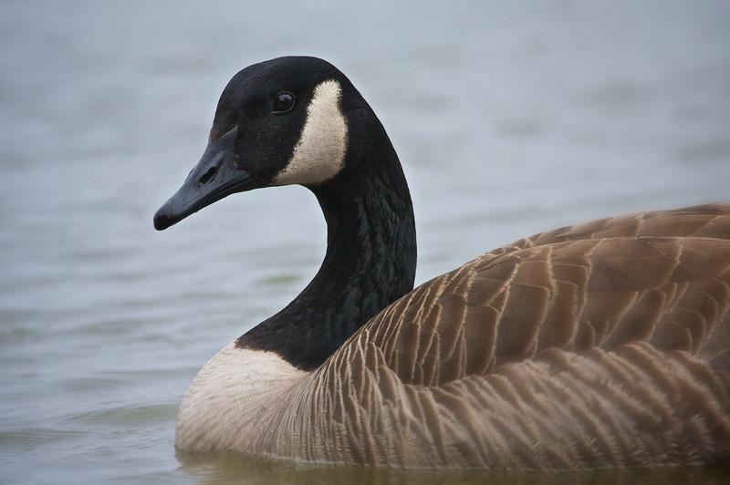 Goose EOS40D-TMW-20100123-IMG_7324