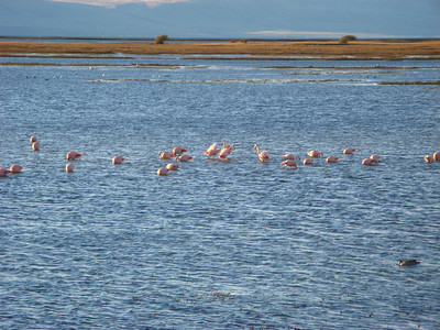 Julius didn't believe it until he saw it with his own eyes - there is a flock of flamingoes living on Lake Argentina here at the end of the world. The only time they migrate is when the lake freezes over in the winter! The temperature is well below freezing today. We won't tell them the weather their cousins are enjoying in the lakes in Tanzania