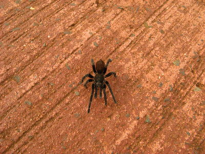 Tarantulas in the wild! This one was walking down the sidewalk oblivious to us. Aurora would be jealous. Mom was not excited to see it!