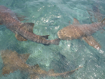 We dove with Nurse Sharks while snorkeling in the reef near the island