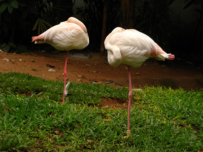 Flamingoes really do sleep on one leg